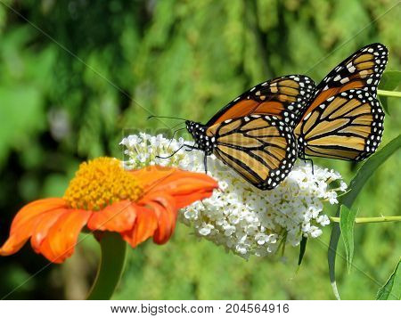 Two Monarch butterflies and flower in garden on bank of the Lake Ontario in Toronto Canada