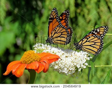 Two Monarch butterflies and flowers in garden on bank of the Lake Ontario in Toronto Canada
