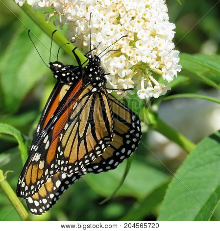 Two Monarch butterflies on a white flower in garden on bank of the Lake Ontario in Toronto Canada