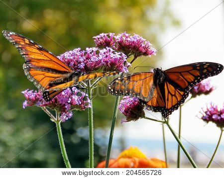 Two Monarch butterflies on purple flowers in garden on bank of the Lake Ontario in Toronto Canada