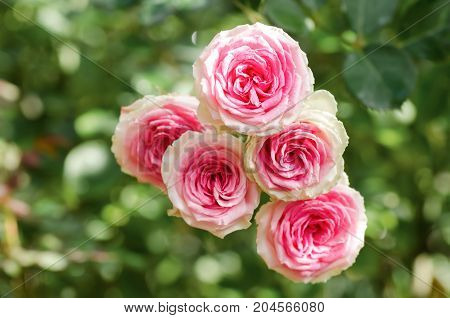 Pink roses flower blossom in a garden,decoration flowers
