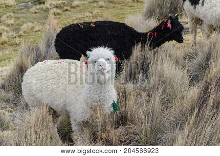 Curious llamas of Altiplano Bolivia South America