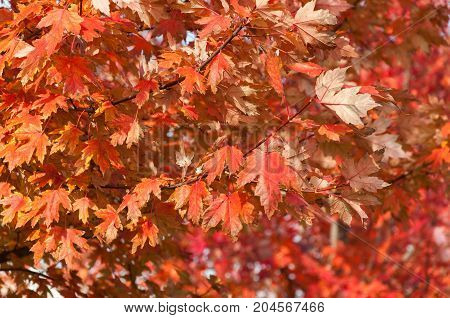 Natural background: Autumn red maple leaves in forest. Ontario Canada