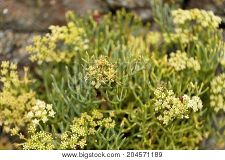 Flowers Of Sea Fennel (crithmum Maritimum)