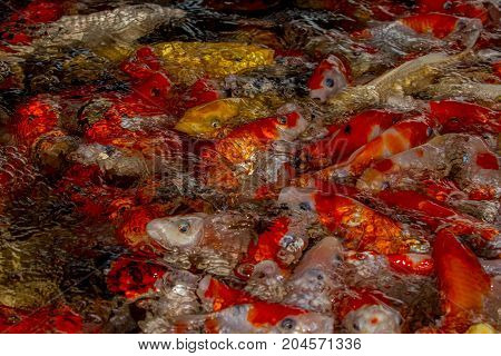 Fancy Carp Or Koi Fish Swimming In Pond