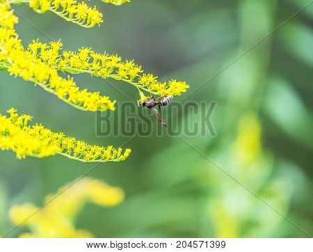 Hornet bee perched on end of stem of tiny yellow flowers soft green garden plants in background. Insect detail