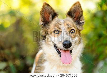 Collie dog is a beautiful Collie outdoors with natural nature background.