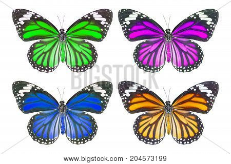 Top view of common tiger butterfly ( Danaus genutia ) on white with clipping path