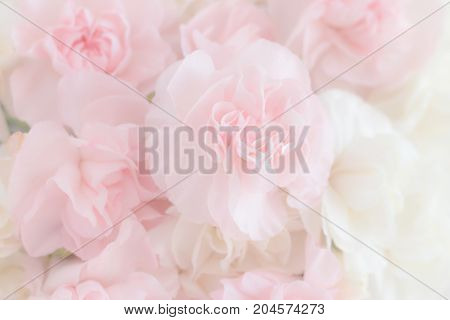 Pink Carnation Flowers Bouquet on light pink background. soft filter.