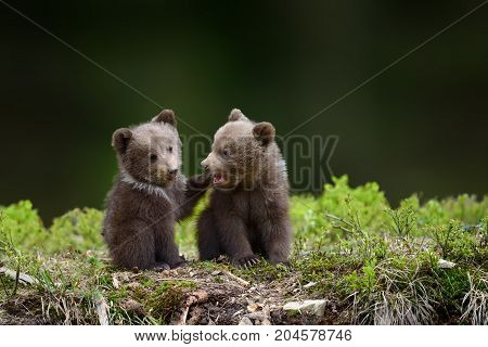 Two Young Brown Bear Cub In The Fores