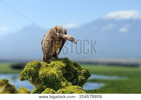 Vulture, Big Birds Of Prey Sitting On Rock Mountain, On Kilimanjaro Mount Background