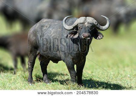 African Buffalo, Big Animal In The Nature Habitat