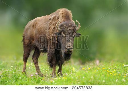 European Bison In The Summer Meadow