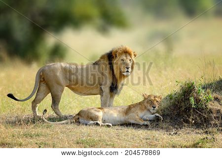 African Lions, Panthera Leo, Masai Mara National Park, Kenya, Africa