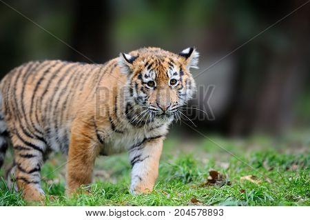 Siberian Tigris In Beautiful Habitat