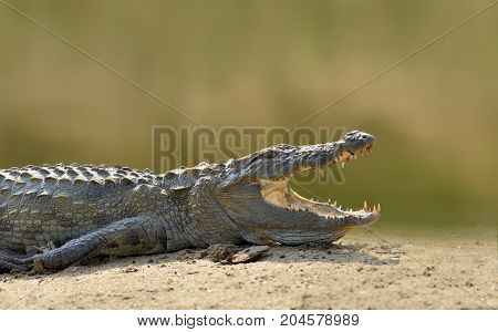 Crocodile In The River, Evening Yellow Sun, National Park Yalla, Sri Lanka