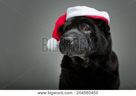 beautiful black shar pei dog in red christmas hat. studio shot on grey background. copy space.