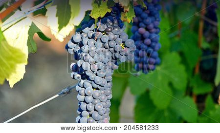 Bunch of Australian Wine Grapes Barossa valley