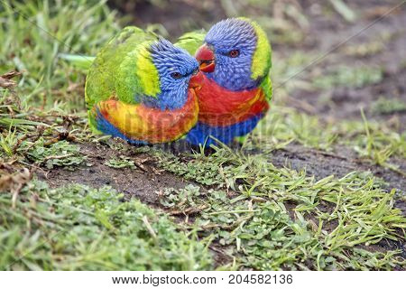 the rainbow lorikeets are preening each other