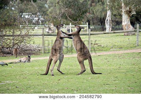 the two kangaroo-Island kangaroos are fighting over who will mate with the female kangaroo