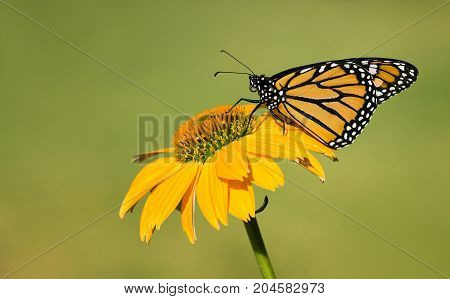 Newly emerged Monarch butterfly (Danaus plexippus) on yellow coneflower. Natural green background with copy space.
