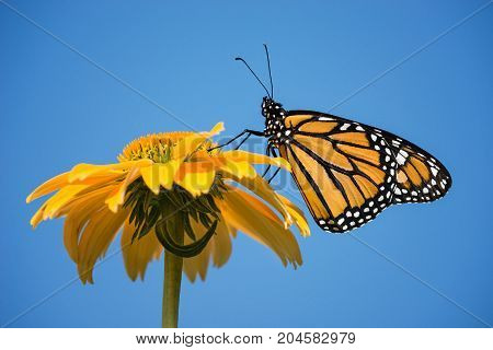 Newly emerged Monarch butterfly (Danaus plexippus) on yellow coneflower. Blue sky background with copy space.