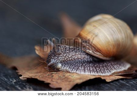 Curious snail in the garden on brown leaf