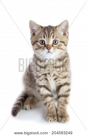 Cute scottish shorthair kitten cat looking at camera isolated on white