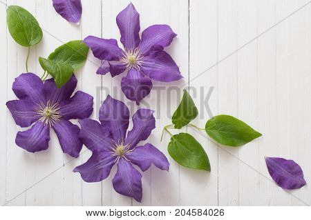 the white background with beautiful purple clematis