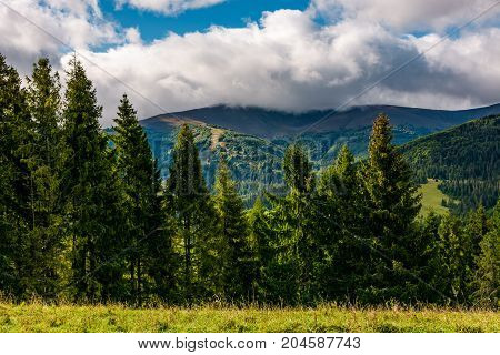 Spruce Trees On Hillside Edge On Cloudy Day
