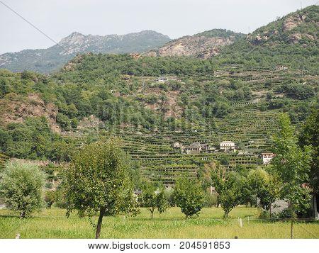 Vineyard Grapevine Plantation In Aosta Valley