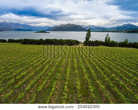 Vineyard At Lake Wanaka, New Zealand