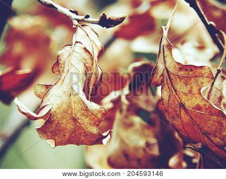 Autumn. Dry maple leaves on a tree