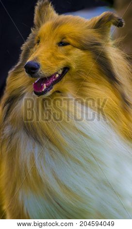 collie. Dog collie. The collie is a distinctive type of herding dog including many related landraces and formal breeds. Portrait of purebred dog Rough Collie.