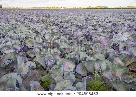 Large field with organic grown red cabbages almost ready for harvesting. It is in the late summer season now.