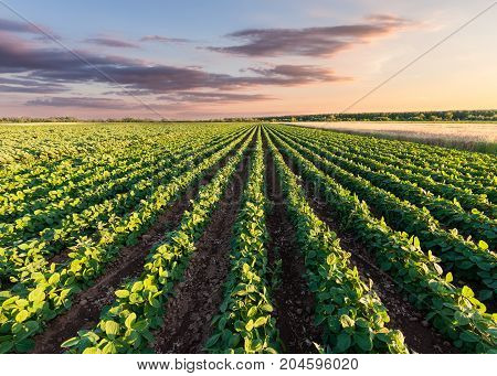 Rows of green soybean at idyllic sunset. Perfect agriculture fields as industry standard in harvest season.