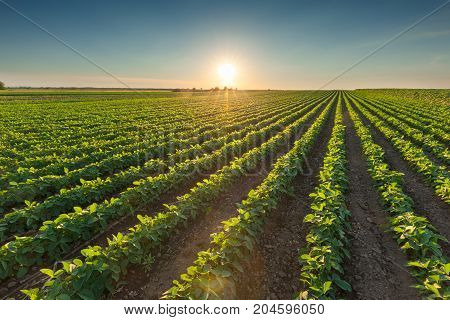 Rows of green soybeans against the setting sun. Soy bean fields in summer season at idyllic sunset.