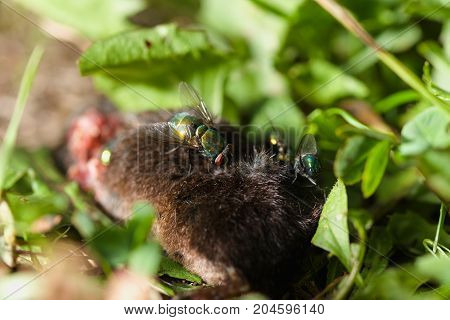 Large green flies sitting and crawling over body of dead mouse