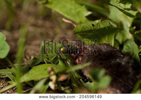 Dead body of a mouse being devoured by fly