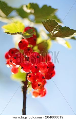 bunch of red currant in the morning light on a blue background. Red currant harvest season