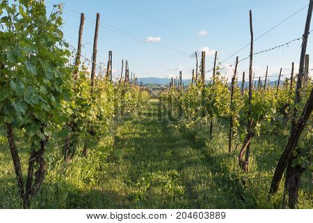 Beautiful Autumnal Vineyard Landscape With Rows Of Vines