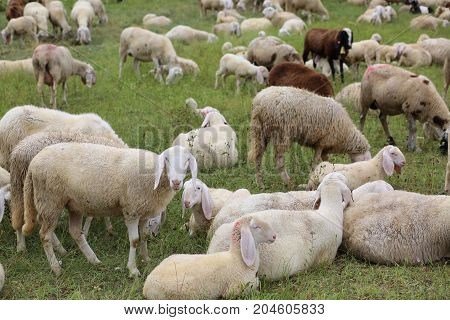 Flock With So Many White Sheep With Lambs Grazing In The Mountai