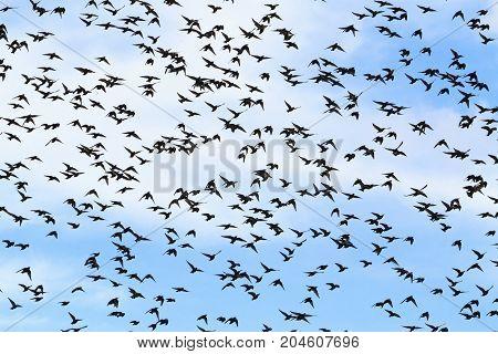 Huge flocks of starlings migrate south , wildlife, unique frames