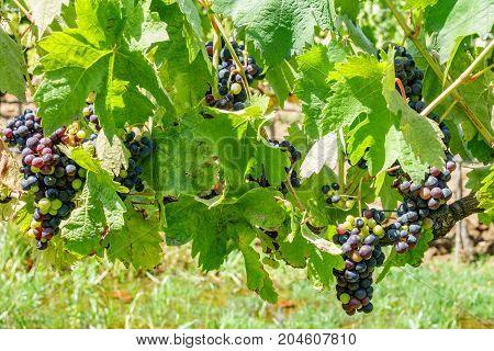 Closeup of vine plant and purple grapes