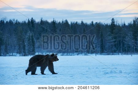 Beautiful brown bear walking in the snow in winter. Photographed at sunset in Finland.