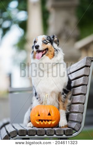 happy australian shepherd dog posing with a carved Halloween pumpkin