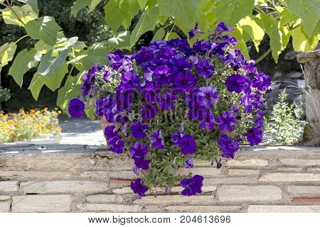 Dark violet petunia in a  growing pot in the park (park design)