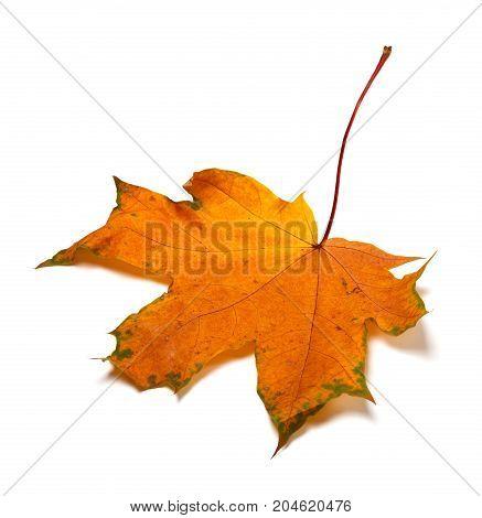 Autumn orange dried maple-leaf. Isolated on white background.