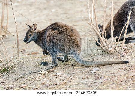 Dwarfish Gray Kangaroo