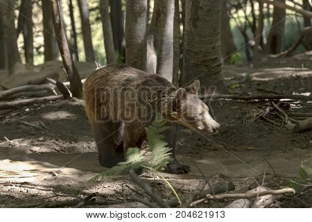 Eurasian brown bear (Ursus arctos) in the natural habitat